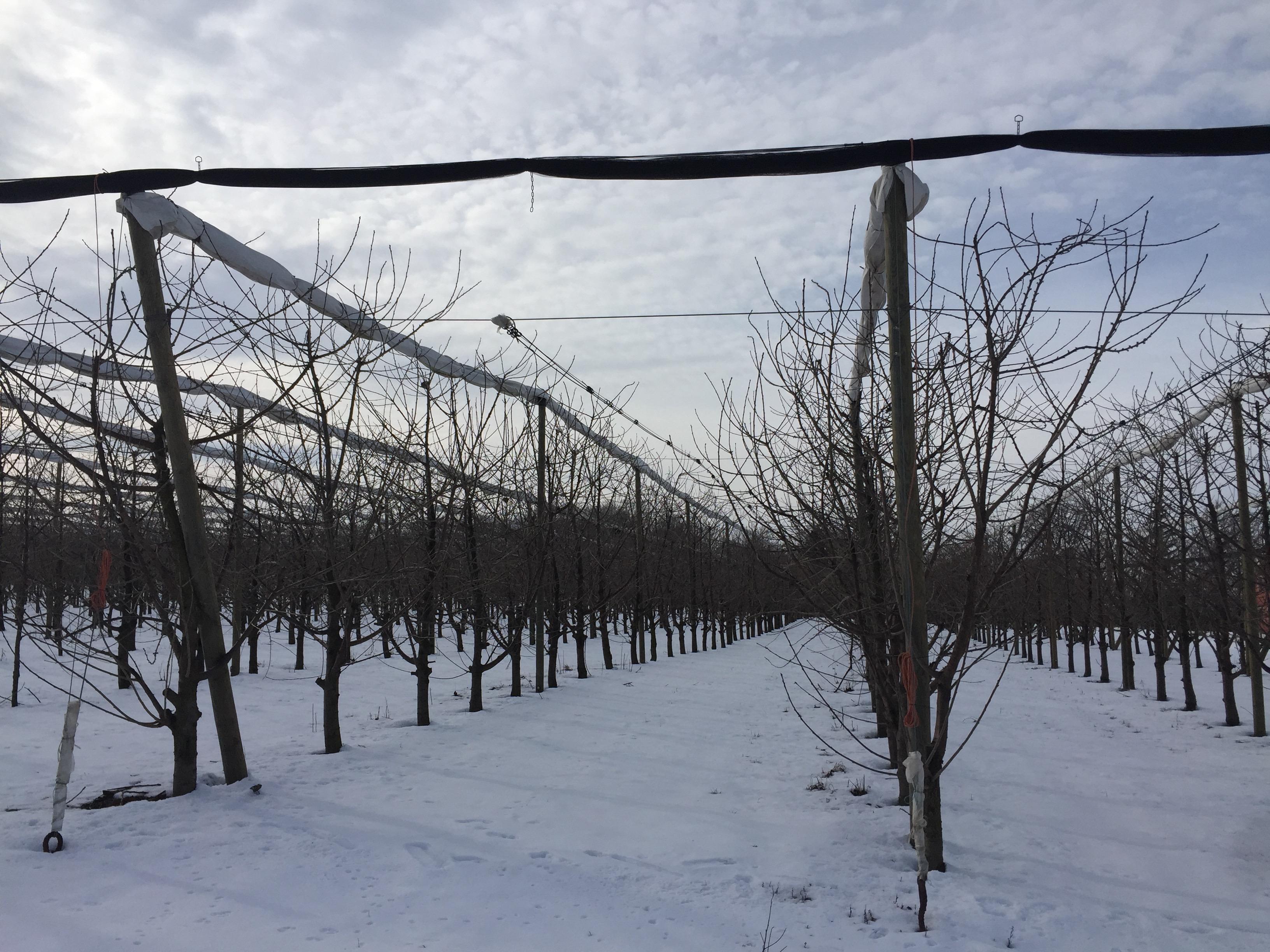 Zima wsadzie czereśniowym